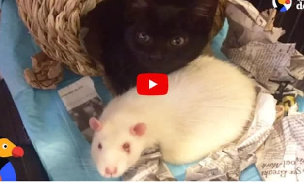 VIDEO: Rats Help Raise Rescue Kittens at This Cat Cafe