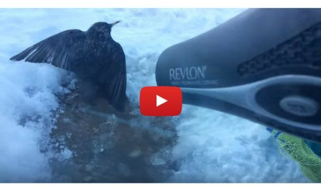 VIDEO: Woman Finds Bird Frozen Solid, Saves Its Life With Blow Dryer