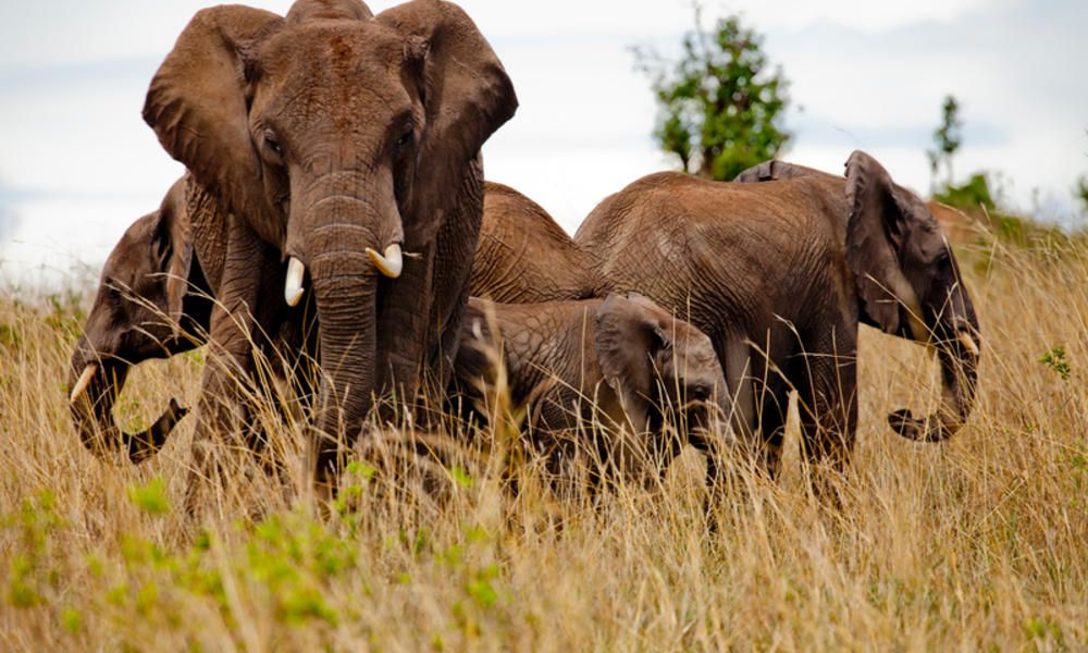 Anti-Poaching Efforts Work! Kenya's Elephant Population is On the Rise