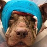 Justice Served: Ollie the Pit Bull's Murderer Faces 17 Counts of Animal Cruelty