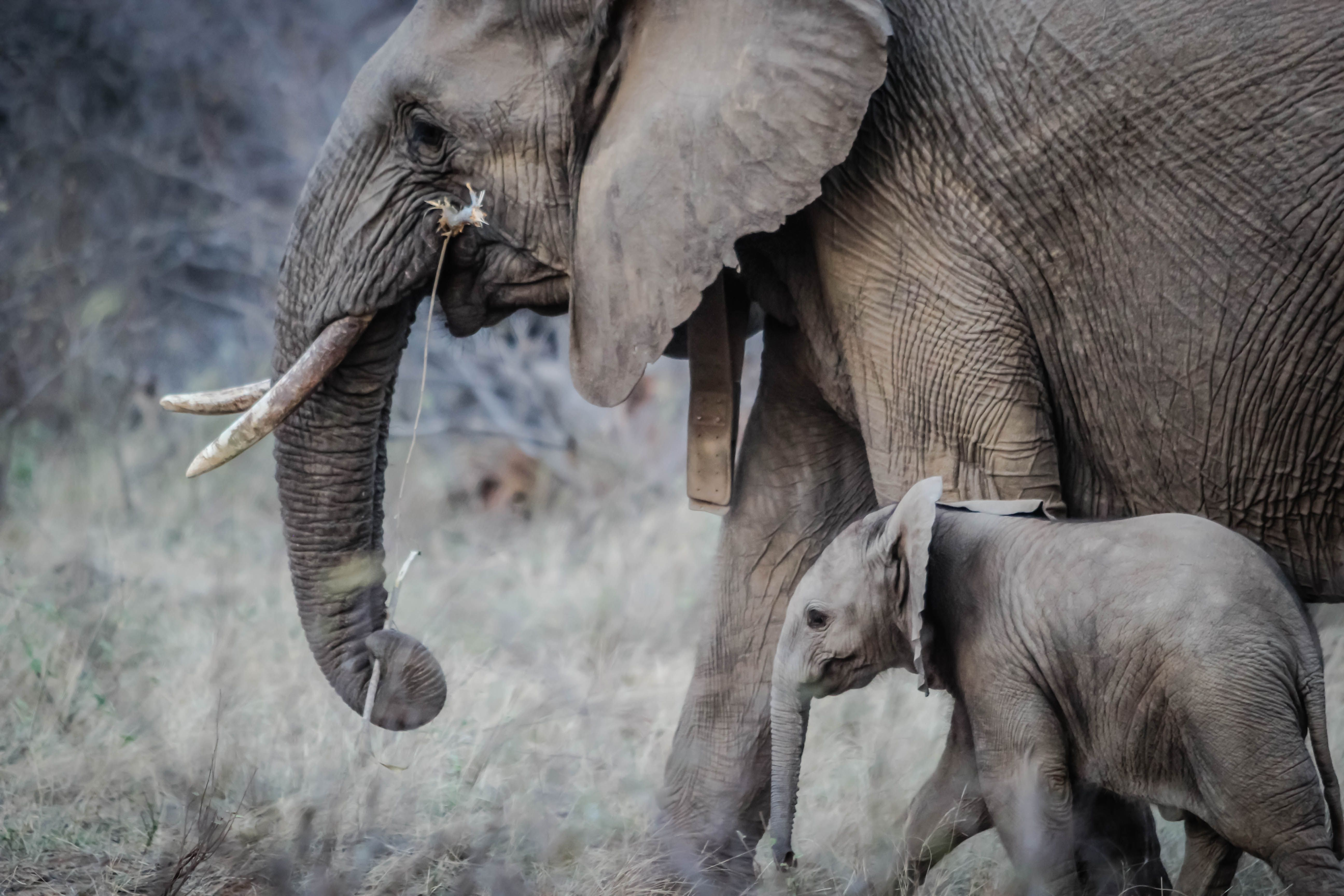 African elephant and her baby walking through savannah