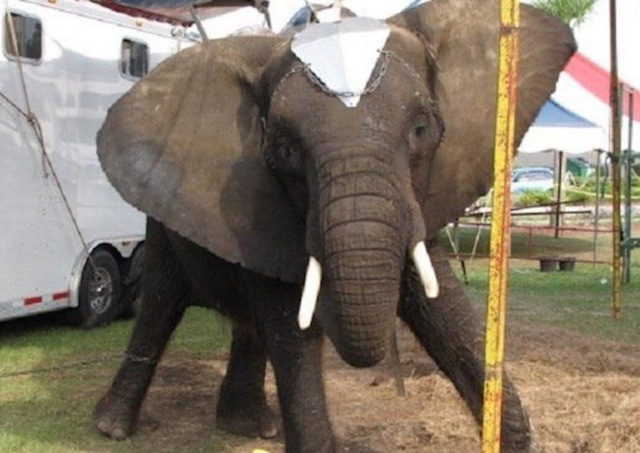 Justice! Nosey the Elephant in Sanctuary, Captors Arrested