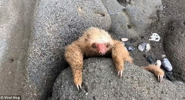 Abandoned Baby Sloth Trapped Between Two Rocks is Saved by Kind Rescuers