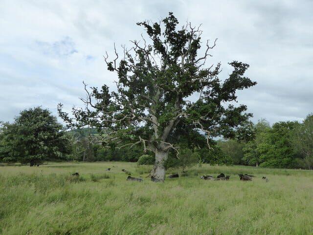 Wood pasture in Britain.