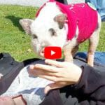 VIDEO: Adorable Pig is Touring the Nation to Change the Way We View Animals