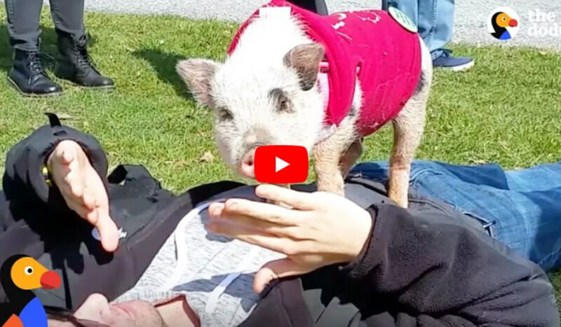 charlotte the pig meets a stranger just like a puppy