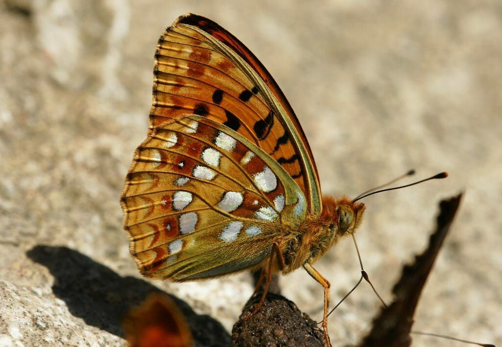 High Brown Fritillary Butterfly is in danger of extinction.