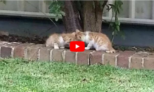 VIDEO: Kitten Acts as 'Guide Cat' for His Blind Twin Brother