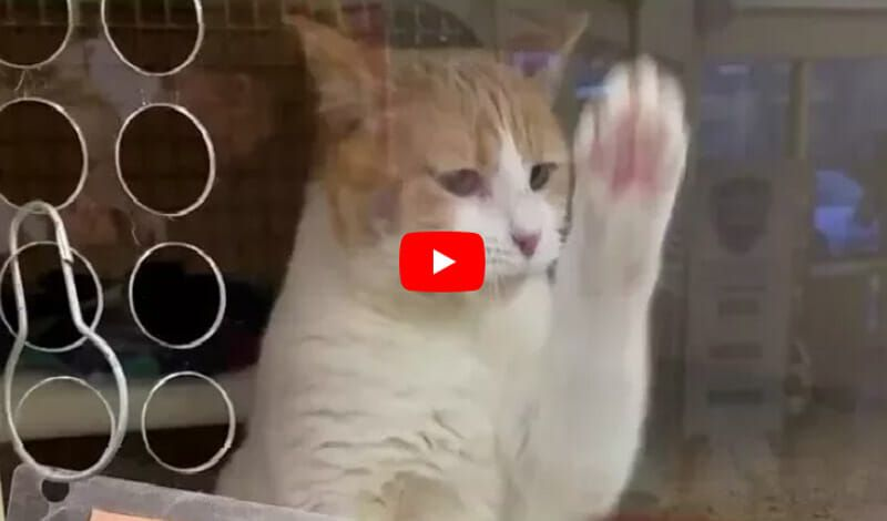 rosie the rescue cat paws at her glass window