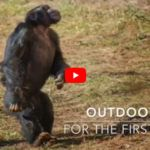 VIDEO: Rescued Lab Chimps Step Outside for the Very First Time