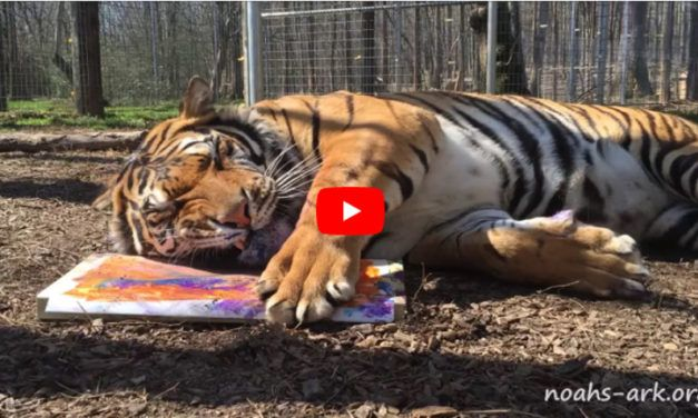VIDEO: Meet the Rescue Tiger Who Really, Really Loves to Paint