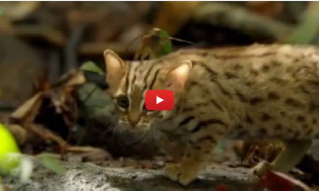 VIDEO: Meet The World's Tiniest Cat – Small Enough to Hide Under a Leaf!