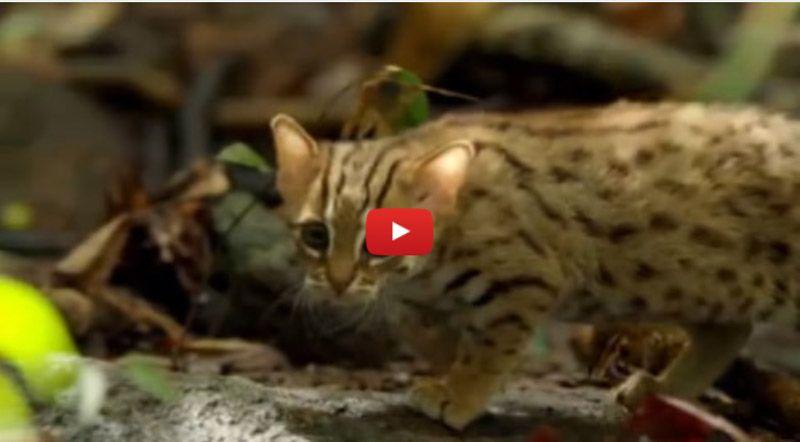 rusty spotted cat video still