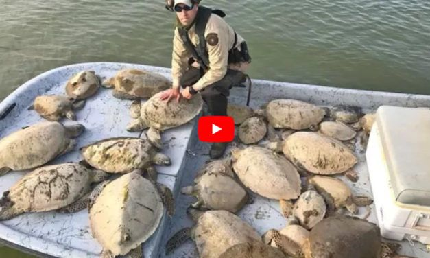 VIDEO: Half-Frozen Turtles Rescued from Death in Texas Cold Snap
