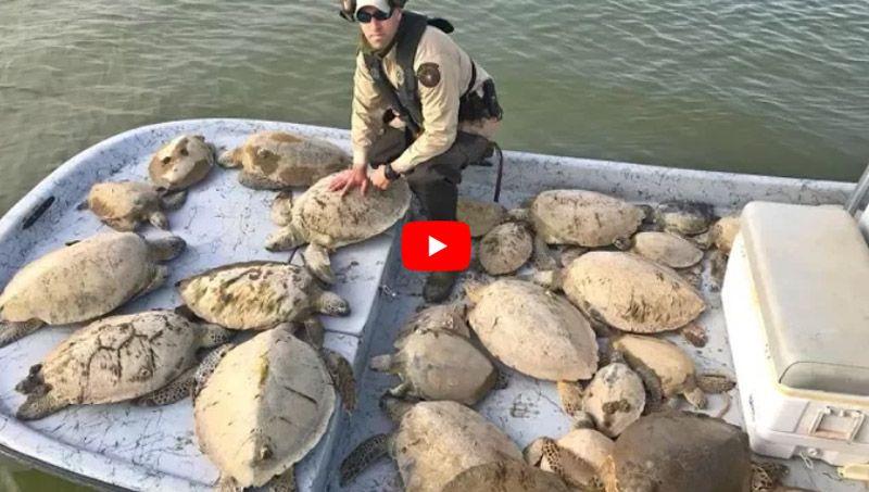 Sea turtles rescued half frozen in Texas cold snap