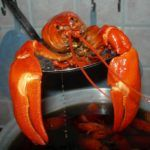 Switzerland Bans Boiling Lobsters Alive – Because It's Cruel