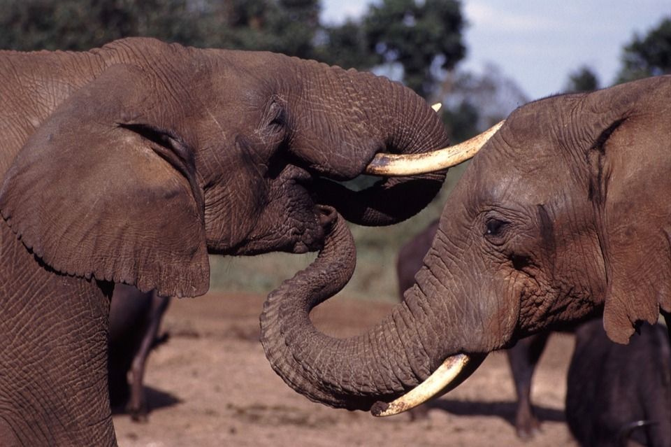 Nearly Half A Million Dollars Worth of Elephant Tusks Seized in Thailand