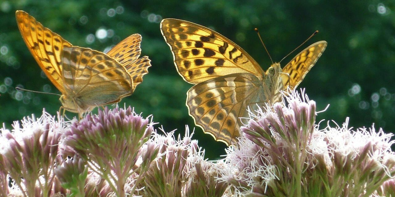 Britain's Rarest Butterfly Just Won The Lottery – Literally