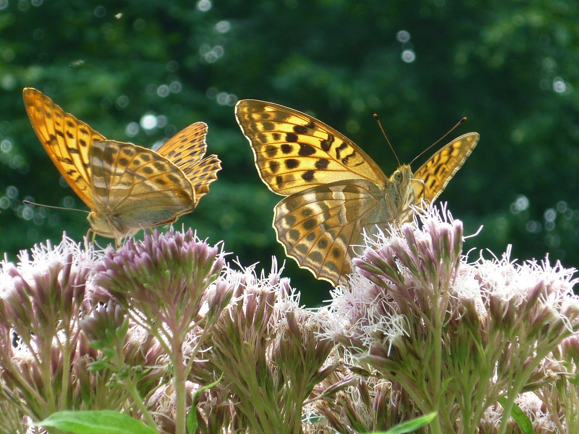 High Brown Fritallary butterfly on flowers.