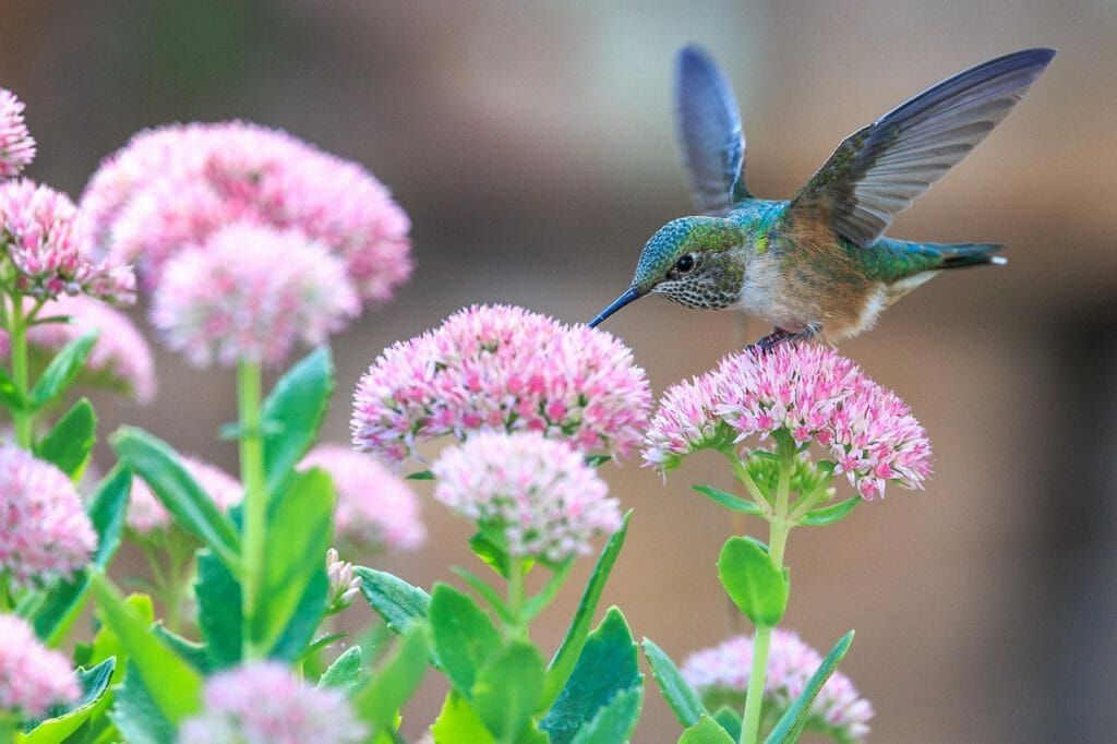 Hummingbird feeding on garden flowers