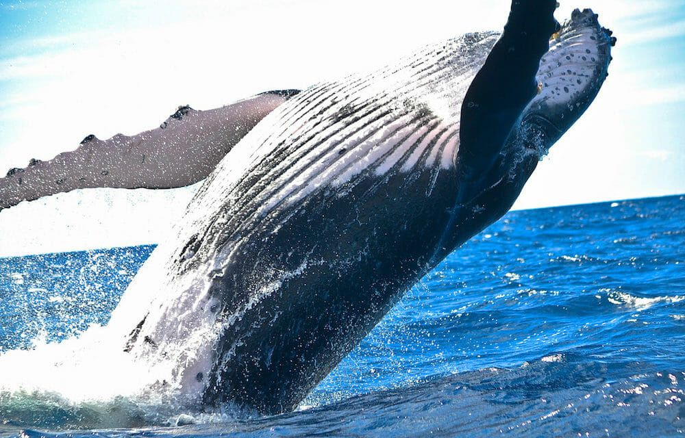 Humpback Whale Protects Human Diver from Deadly Tiger Shark