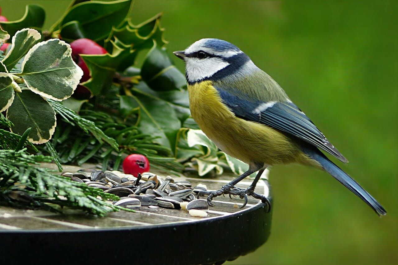 Blue tit perched next to holly: watching birds will make you happier