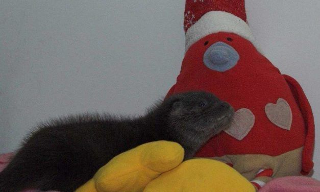 Orphaned Otter Feels So Much Better Cuddling with Her Stuffed Robin