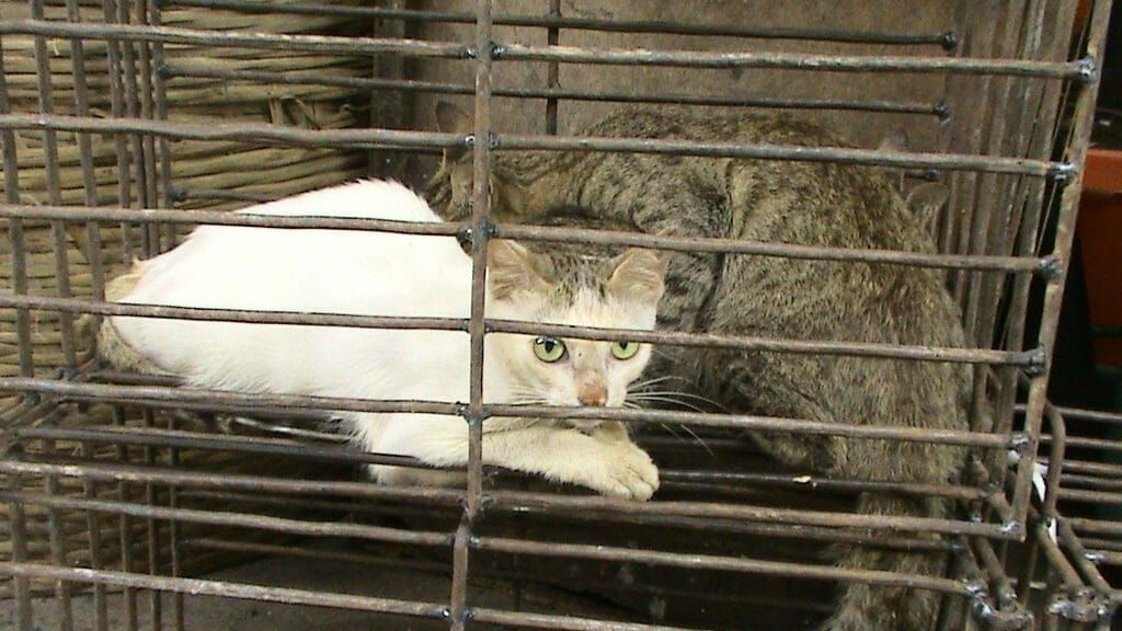 cats to be slaughtered in Yulin