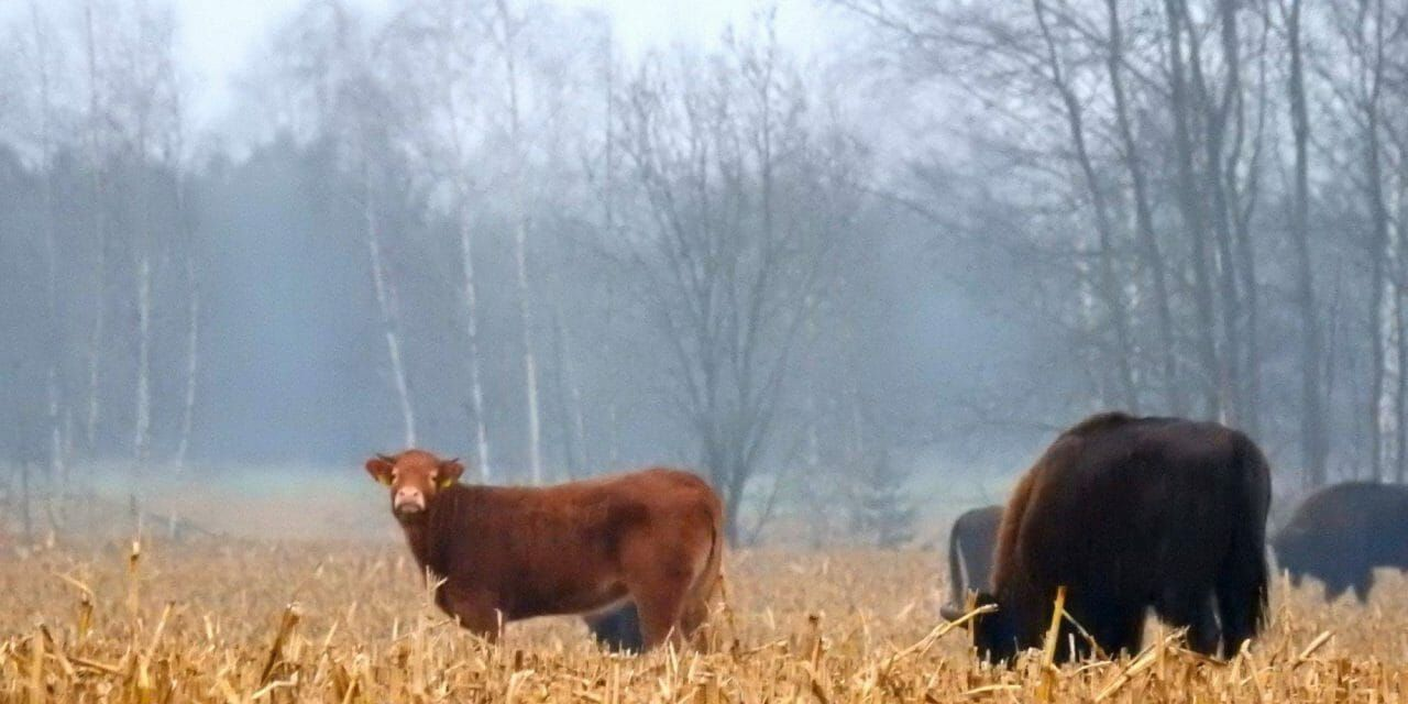 Cow Breaks Out of Farm and Joins A Wild Bison Herd