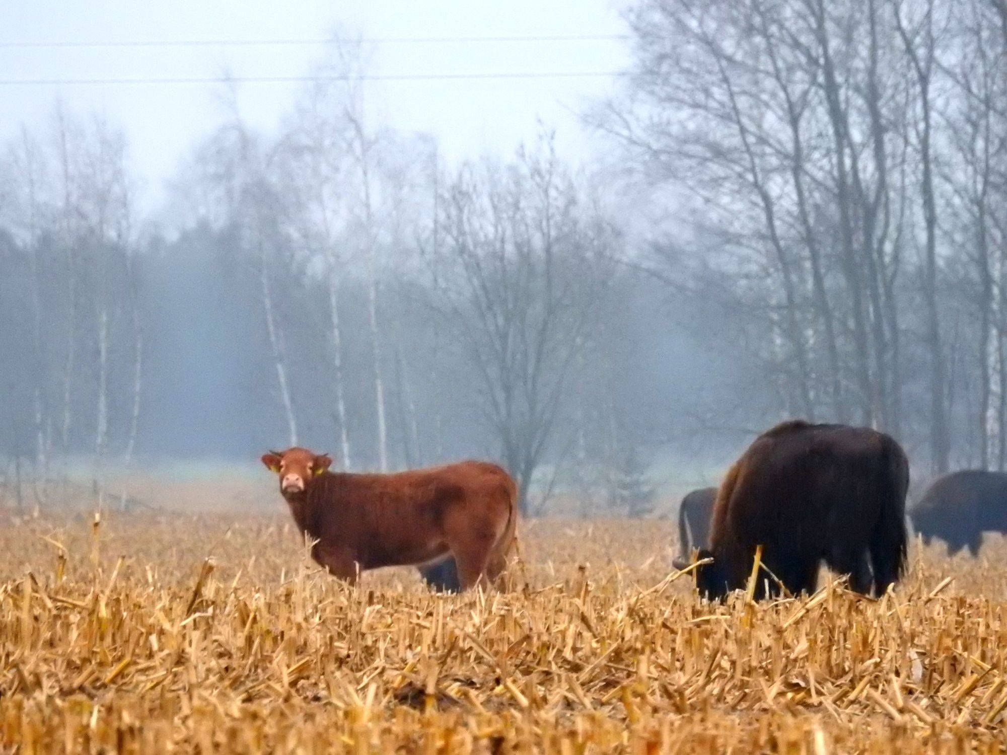 cow runs away to live with bison