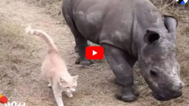 VIDEO: Cat and Rescued Baby Rhino are Best of Friends