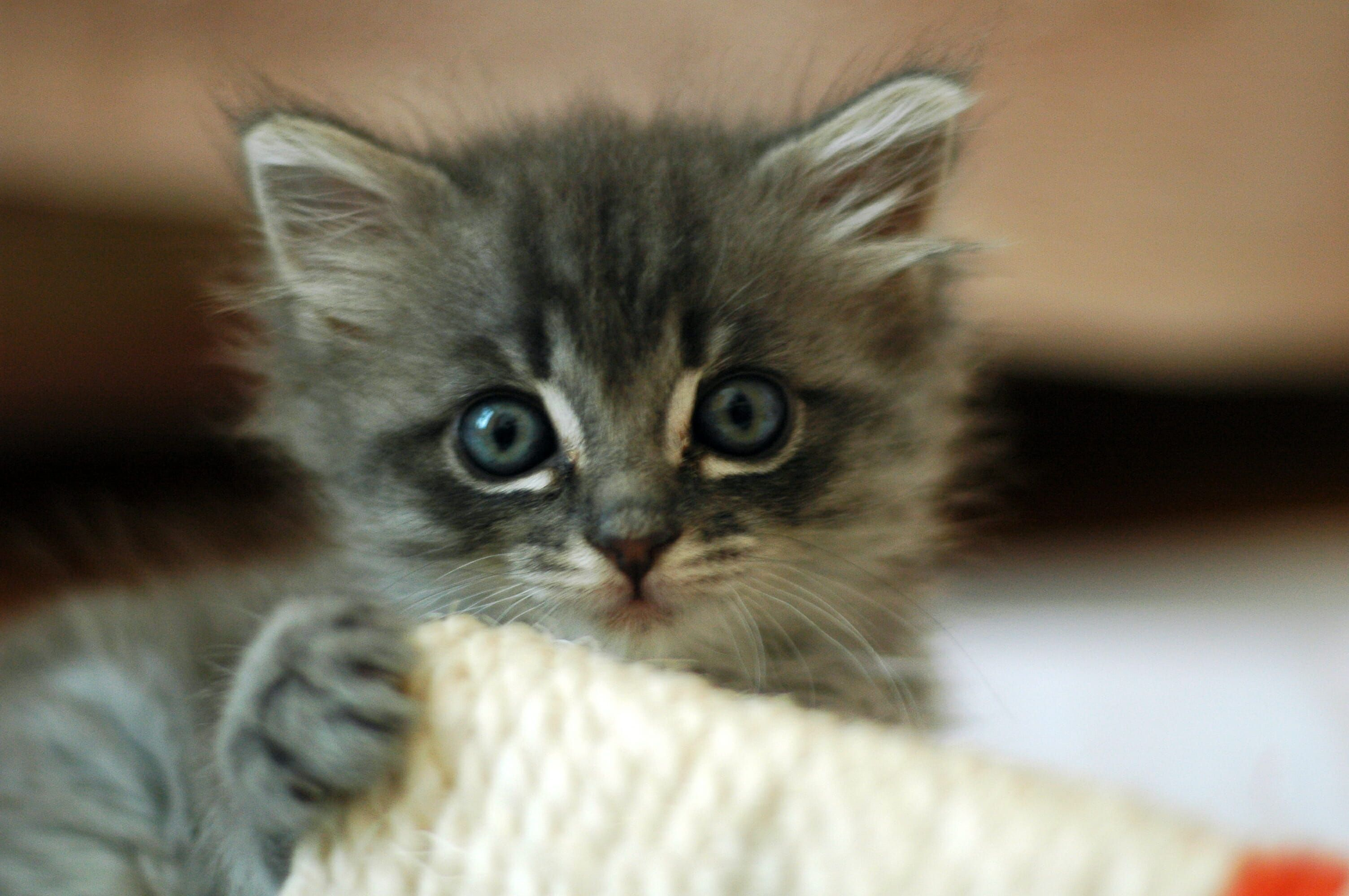 Close up of a particularly cute abandoned kitten. The May Spay challenge aims to reduce the number of feral kittens that need to be put down.