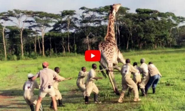 VIDEO: Rescuers Save Giraffe from Strangling on Metal Wire Wrapped Around Its Neck