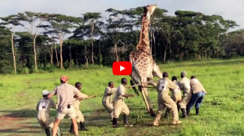 giraffe freed from wire wrapped around its neck