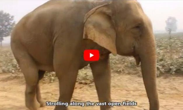 VIDEO: Priyanka the Elephant Loves Her New Life After 40 Years of Slavery