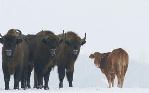 Cow escapes slaughter and joins bison herd.