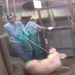 Coalition Speaks Out Against USDA's Cruel and Reckless High-Speed Slaughter of Pigs