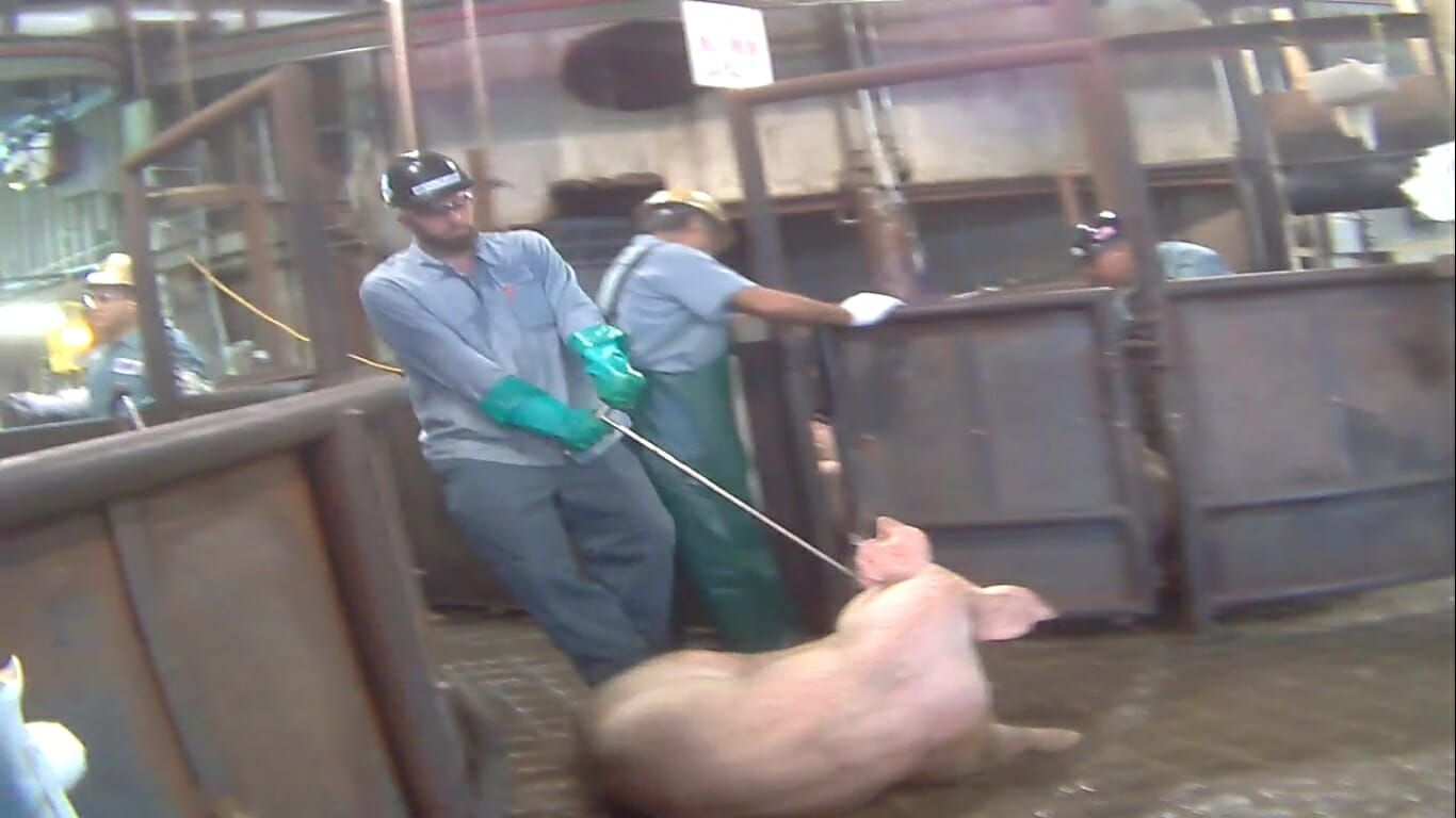 pig at high-speed slaughter plant