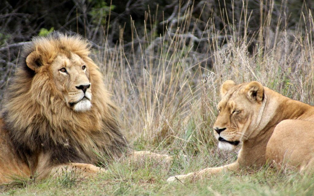 Poacher in South Africa Mauled and Eaten by Pride of Lions