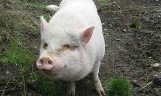 Couple Adopts Pet Pig from Rescue Shelter – Then Kills and Eats Her