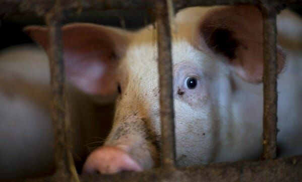 Stop High-Speed Slaughter Hell for Pigs – Send Your Comment Now