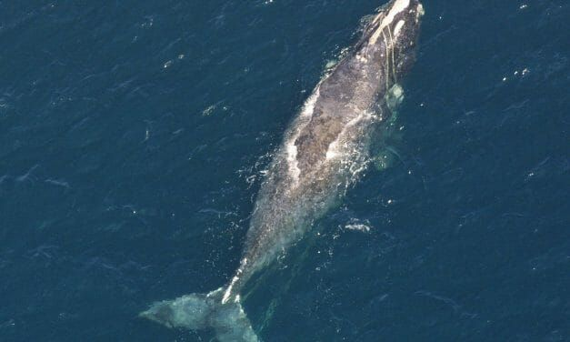 Die-Off of Endangered Whales Prompts Lawsuit Against Trump Administration