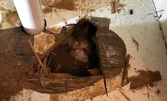 Kitten Rescued After Hanging by the Neck Under Crawlspace for Hours