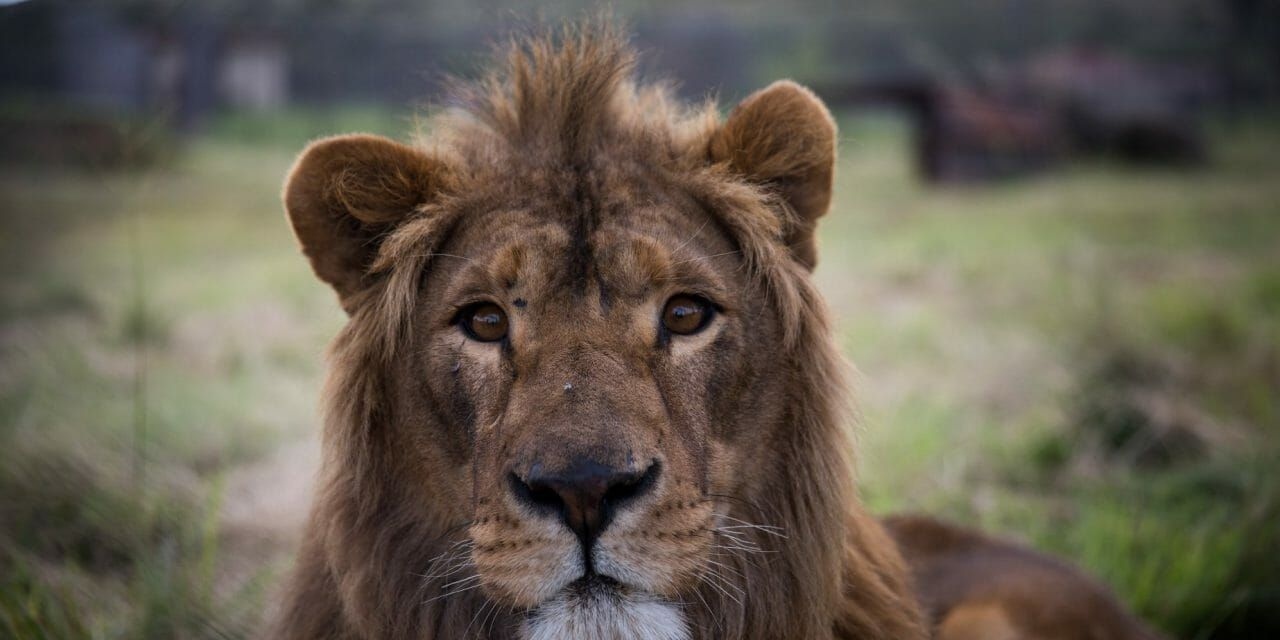 2 Lions Rescued from War-Torn Iraq and Syria Zoos Arrive at the Sanctuary