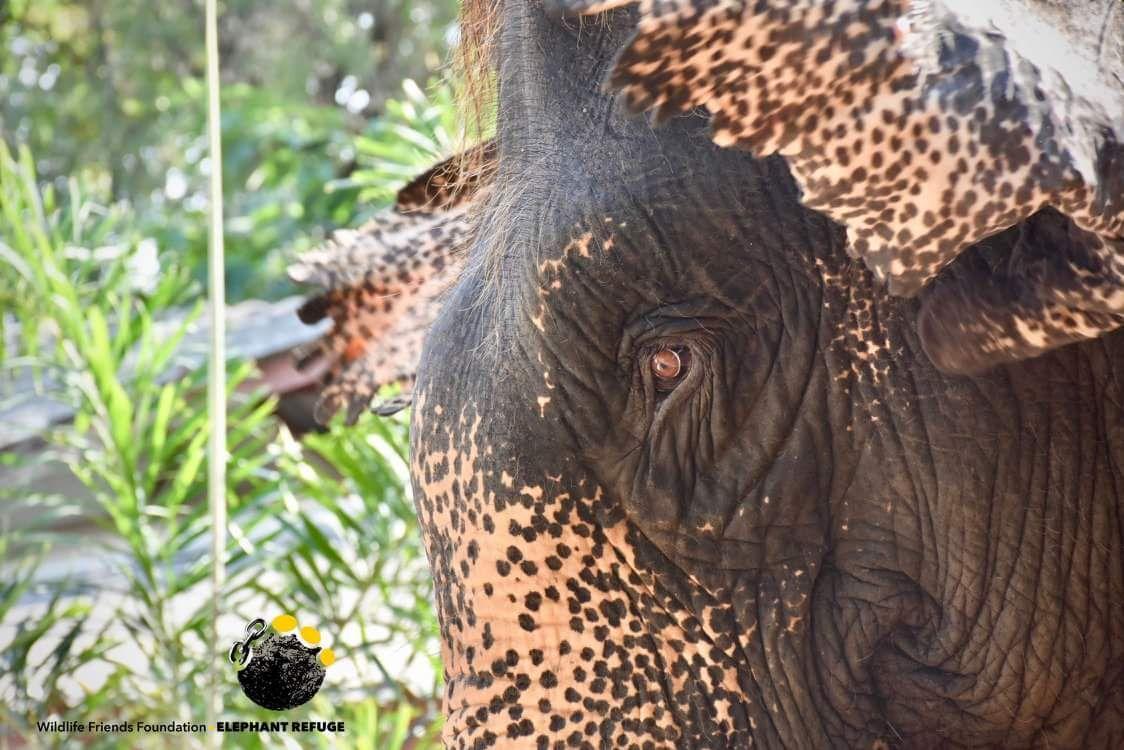 elephant rescue mee chai wfft wildlife friends foundation thailand