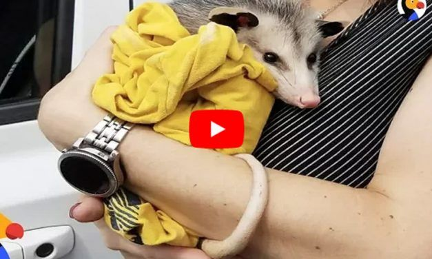 VIDEO: Kind Woman Raises Orphaned Possum Just As She Would Her Own Baby
