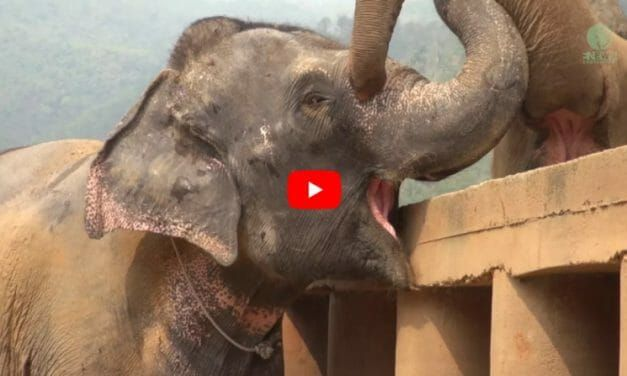 VIDEO: Blind Elephant Rescued from Cruel Tourist Industry Gets the Warmest Welcome from Her New Herd