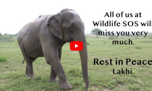 VIDEO: In Memory of Lakhi, Beloved Rescue Elephant Once Blinded and Forced to Beg on the Streets
