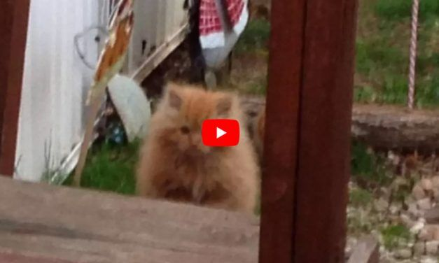 VIDEO: Stray Kitten Roams into Yard to Find Food — Then His Life Changes Forever