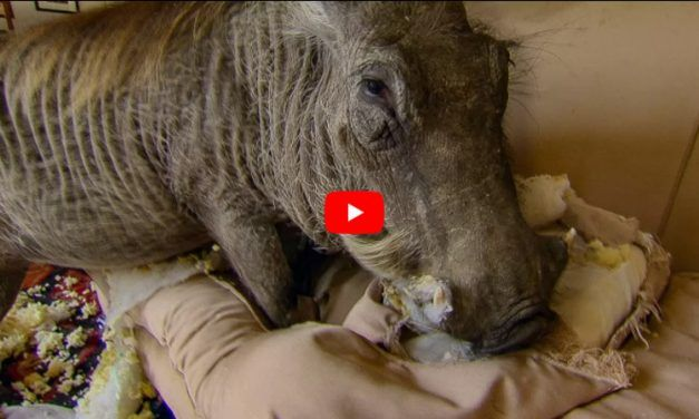 VIDEO: Rescue Warthog Loves Destroying Furniture – But Who Can Get Mad at a Face Like That?
